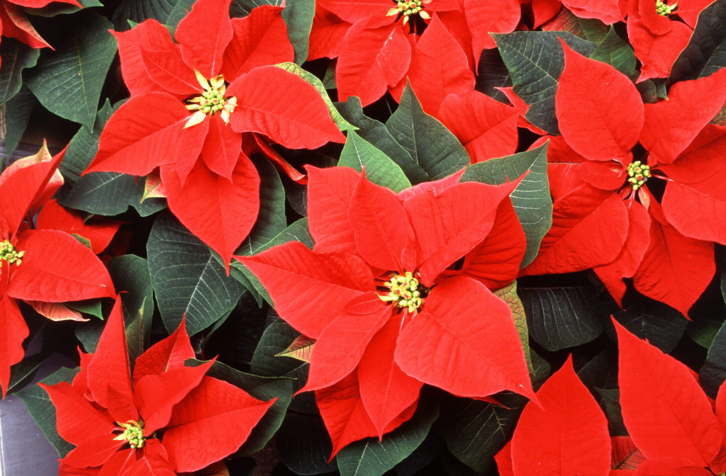 Cluster of bright red Poinsettia plants